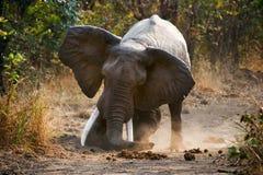 0 ελέφαντας που στέκεται στο δρόμο Ζάμπια Εθνικό πάρκο νότιου luangwa Στοκ Εικόνες