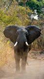 0 ελέφαντας που στέκεται στο δρόμο Ζάμπια Εθνικό πάρκο νότιου luangwa Στοκ εικόνες με δικαίωμα ελεύθερης χρήσης