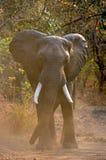 Ελέφαντας που στέκεται στο δρόμο Ζάμπια Εθνικό πάρκο νότιου luangwa Στοκ φωτογραφία με δικαίωμα ελεύθερης χρήσης