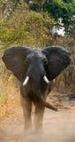 Ελέφαντας που στέκεται στο δρόμο Ζάμπια Εθνικό πάρκο νότιου luangwa Στοκ φωτογραφίες με δικαίωμα ελεύθερης χρήσης