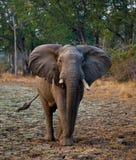 Ελέφαντας που στέκεται στο δρόμο Ζάμπια Εθνικό πάρκο νότιου luangwa Στοκ εικόνα με δικαίωμα ελεύθερης χρήσης