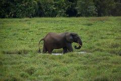 Ελέφαντας που στέκεται στο σχεδιάγραμμα στο νερό μεταξύ της πράσινης χλόης (Κονγκό) στοκ φωτογραφία με δικαίωμα ελεύθερης χρήσης