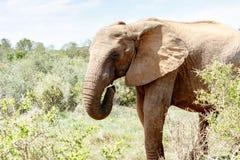 Ελέφαντας που τιτιβίζει πίσω από τα δέντρα Στοκ φωτογραφίες με δικαίωμα ελεύθερης χρήσης