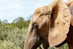 Ελέφαντας που χαμογελά τρώγοντας σε ένα κομμάτι της χλόης Στοκ φωτογραφία με δικαίωμα ελεύθερης χρήσης