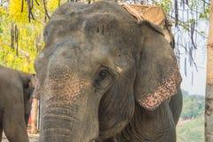 Ελέφαντας προσώπου Στοκ Φωτογραφία