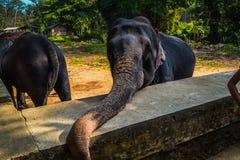 Ελέφαντας στην επιφύλαξη στη Σρι Λάνκα Στοκ Φωτογραφίες