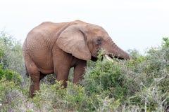 Ελέφαντας στην κατανάλωση θάμνων Στοκ φωτογραφίες με δικαίωμα ελεύθερης χρήσης