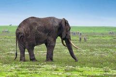 Ελέφαντας στη σαβάνα Στοκ εικόνες με δικαίωμα ελεύθερης χρήσης