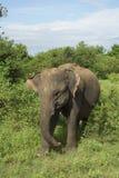 Ελέφαντας στη Σρι Λάνκα Στοκ Φωτογραφίες