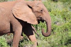 Ελέφαντας στον ήλιο Στοκ Φωτογραφία