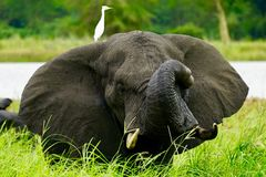 Ελέφαντας στο έλος Μαλάουι Στοκ Εικόνες