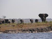 Ελέφαντας στο εθνικό πάρκο Chobe Στοκ εικόνα με δικαίωμα ελεύθερης χρήσης