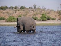 Ελέφαντας στο εθνικό πάρκο Chobe Στοκ φωτογραφία με δικαίωμα ελεύθερης χρήσης