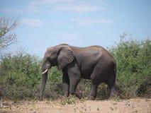 Ελέφαντας στο εθνικό πάρκο Chobe Στοκ Εικόνα