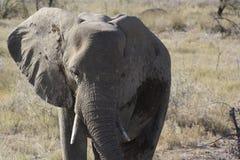 Ελέφαντας στο εθνικό πάρκο Etosha, που λαμβάνεται κοντά σε ένα waterhole Στοκ Εικόνες