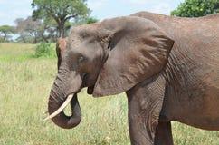 Ελέφαντας στο εθνικό πάρκο serengeti στην Τανζανία Στοκ φωτογραφία με δικαίωμα ελεύθερης χρήσης
