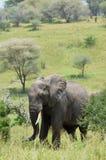 Ελέφαντας στο εθνικό πάρκο tarangire στην Τανζανία Στοκ εικόνες με δικαίωμα ελεύθερης χρήσης