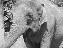 Ελέφαντας στο ζωολογικό κήπο Στοκ φωτογραφίες με δικαίωμα ελεύθερης χρήσης
