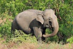 Ελέφαντας στο θάμνο Στοκ Εικόνες