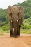 Ελέφαντας στο δρόμο Στοκ Εικόνα