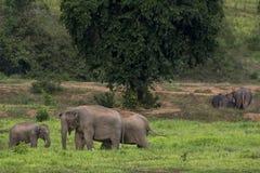ελέφαντας Ταϊλάνδη της Ασί&a Στοκ Εικόνες
