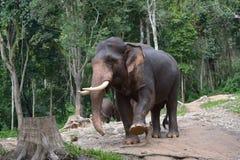 ελέφαντας Ταϊλανδός Στοκ Εικόνες