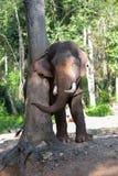 ελέφαντας Ταϊλανδός Στοκ φωτογραφίες με δικαίωμα ελεύθερης χρήσης