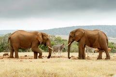 Ελέφαντας του Μπους που ανυψώνει το πόδι του ενώ ο άλλος ελέφαντας κοιτάζει επίμονα Στοκ εικόνα με δικαίωμα ελεύθερης χρήσης