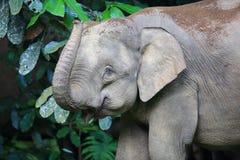 Ελέφαντας του Μπόρνεο Στοκ φωτογραφία με δικαίωμα ελεύθερης χρήσης