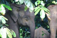 Ελέφαντας του Μπόρνεο Στοκ Φωτογραφία