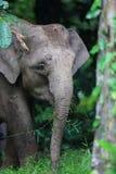 Ελέφαντας του Μπόρνεο Στοκ Φωτογραφίες