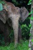 Ελέφαντας του Μπόρνεο Στοκ Εικόνα