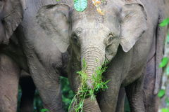 Ελέφαντας του Μπόρνεο Στοκ εικόνα με δικαίωμα ελεύθερης χρήσης