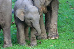 Ελέφαντας του Μπόρνεο Στοκ εικόνες με δικαίωμα ελεύθερης χρήσης