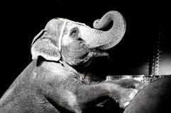 Ελέφαντας τσίρκων Στοκ Εικόνα