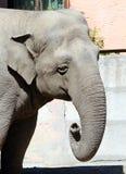 ελέφαντας φωτογραφικών μηχανών που φαίνεται ευθύς ζωολογικός κήπος Στοκ Εικόνα