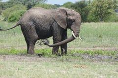 ελέφαντας ψύξης μακριά Στοκ Φωτογραφίες