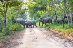 Ελέφαντες ένα πέρασμα ο δρόμος Στοκ Εικόνα