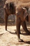 Ελέφαντες - ζεύγος Στοκ εικόνες με δικαίωμα ελεύθερης χρήσης