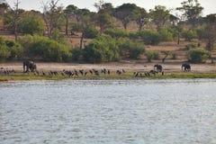 Ελέφαντες και μεγαλύτερο βράδυ υπασπιστών στον ποταμό Chobe, Μποτσουάνα Στοκ Φωτογραφίες