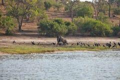 Ελέφαντες και μεγαλύτερο βράδυ υπασπιστών στον ποταμό Chobe, Μποτσουάνα Στοκ φωτογραφίες με δικαίωμα ελεύθερης χρήσης