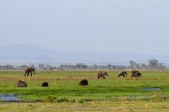 Ελέφαντες και hippos στο έλος Amboseli Κένυα Στοκ Εικόνες
