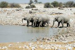 Ελέφαντες κατανάλωσης στο εθνικό πάρκο Etosha, Ναμίμπια Στοκ Εικόνες