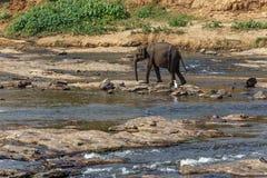 Ελέφαντες που λούζουν στον ποταμό Στοκ Εικόνες