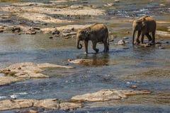 Ελέφαντες που λούζουν στον ποταμό Στοκ Φωτογραφία
