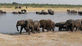 Ελέφαντες που πίνουν στο waterhole, Hwange, άγρια φύση της Αφρικής απόθεμα βίντεο