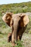 Ελέφαντες που παίρνουν έναν περίπατο στο πάρκο Στοκ εικόνα με δικαίωμα ελεύθερης χρήσης