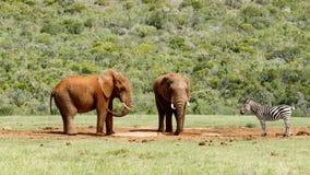 Ελέφαντες που προσέχουν ως ζέβρ προσέγγιση το φράγμα Στοκ Φωτογραφίες