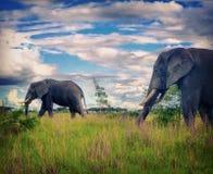 Ελέφαντες σε μια νεφελώδη ημέρα Στοκ εικόνες με δικαίωμα ελεύθερης χρήσης