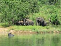 Ελέφαντες Σρι Λάνκα στοκ φωτογραφία με δικαίωμα ελεύθερης χρήσης